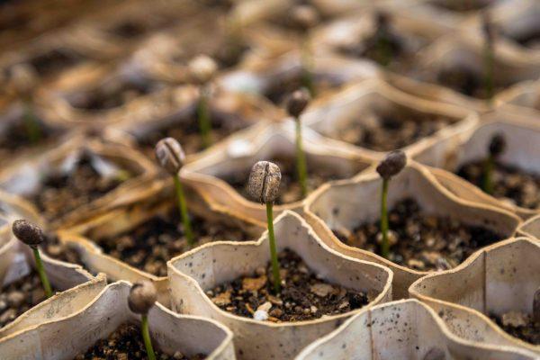 germinados ecológicos huerto